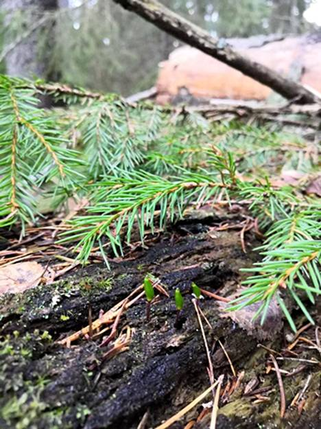 The decaying moss is most easily identified by its spores, which are seen in the trunks of decaying trees in the fall.