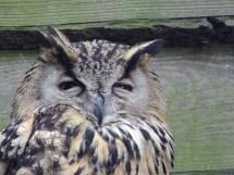 Eurasian Eagle Owl (Bubo Bubo) in captivity in Doezoo, Leens.