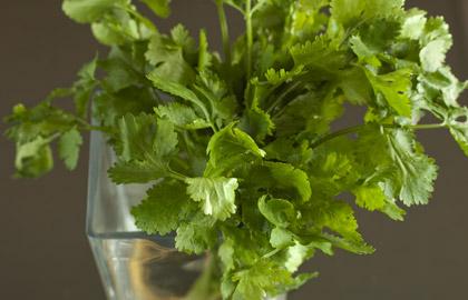 coriander leaf