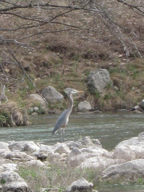 Great Blue Heron along the river.
