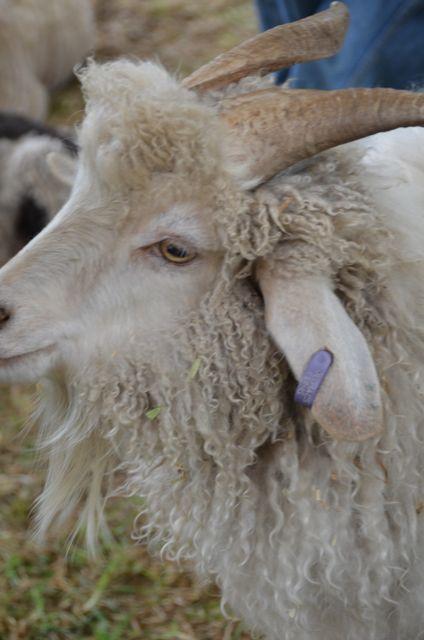 Mohair goat hoping he isn't next.