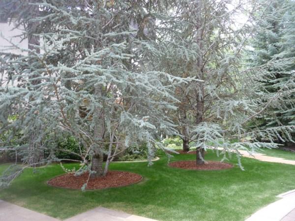 25+ Landscape Specimen Trees Pictures and Ideas on Pro Landscape