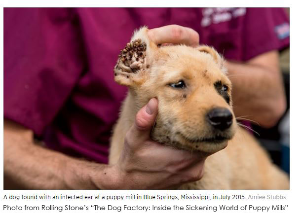 photo of a puppy from a puppy mill with a severely infected ear, copyright Rolling Stone
