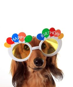 Dachshund puppy wearing Happy Birthday glasses