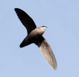 Photo of Chimney Swift by Dominic Sherony on Flickr