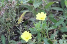 Large-flower Evening Primrose(黃花月見草)