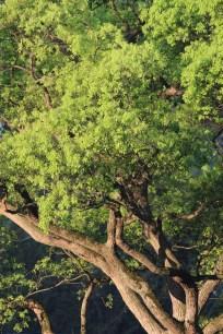 camphor tree(樟樹)