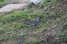 Oriental Turtle-Dove (金背鳩)