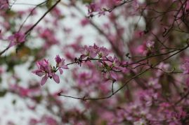 Orchid Tree(羊蹄甲)