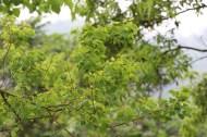 Chinese Tallow Tree(烏桕)