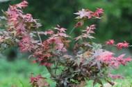 Red maple lake(紅楓)