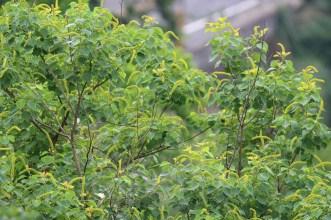 Tallow tree(烏桕)