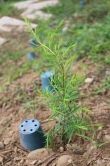 Tea Tree (澳洲茶樹)
