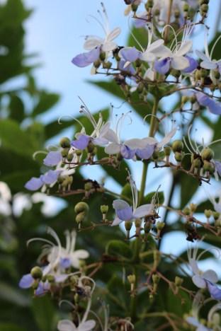 Hsinchu Sinpu,Blue Butterfly Flower