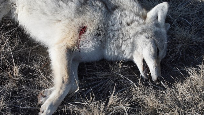 Matt, Piippo, HSM ammo, coyote, calling, hunting, shot, placement, coyotes