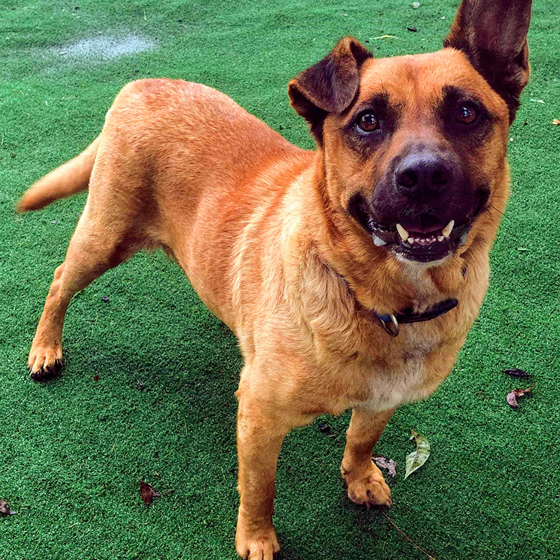 Brownie, a German Shepherd mix dog available for adoption in Monroe County, NC