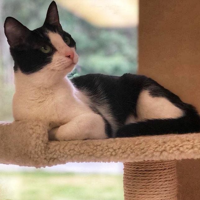 Simone, a Domestic shorthair, white and black kitten