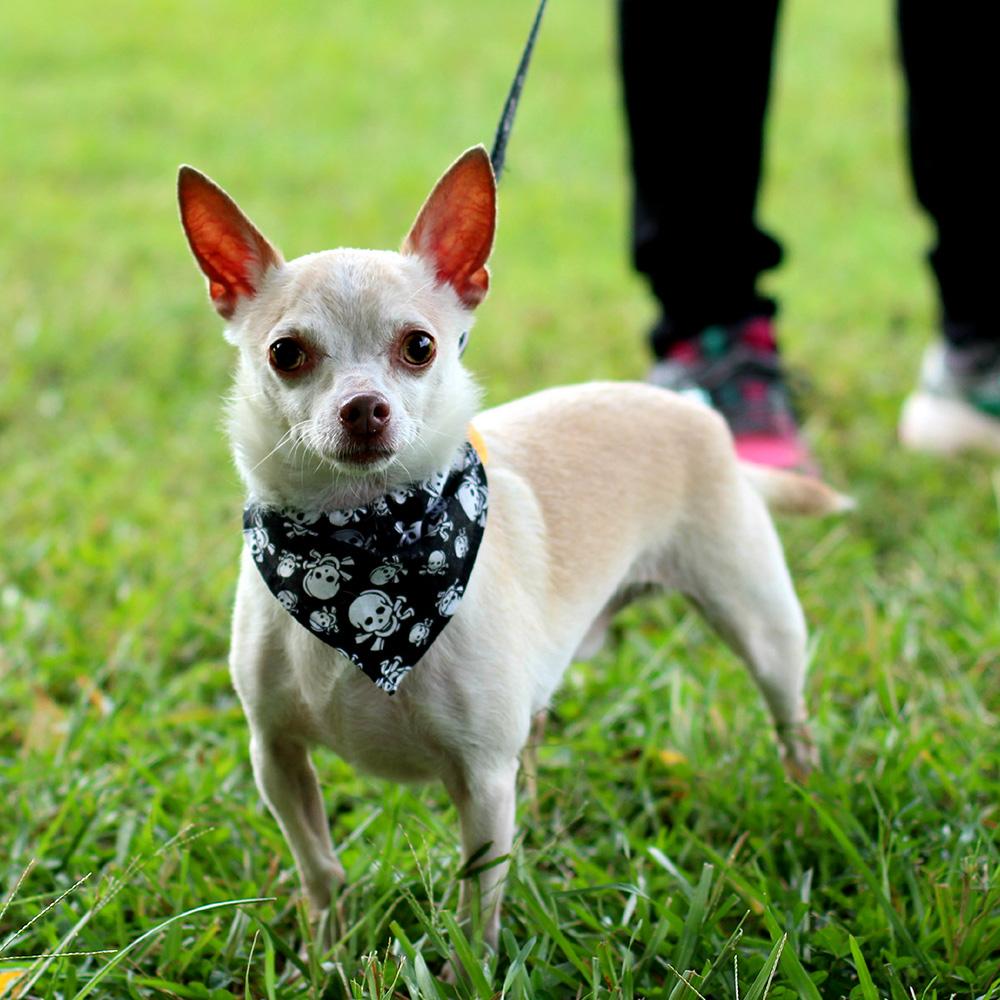 Tiny the Chihuahua rescue dog