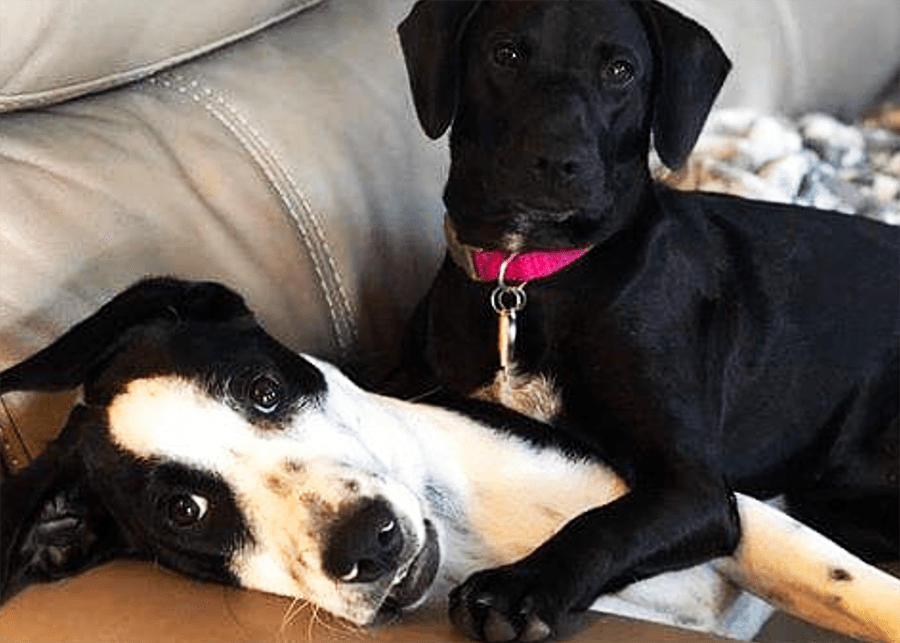 Two foster dogs laying on a couch