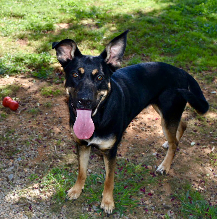 Harper, a German Shepherd rescue dog available for adoption in Monroe County, NC