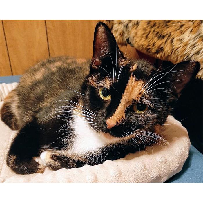 Amanda, cat, adopt