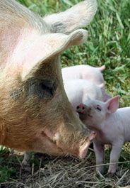 184x265_pig_and_baby_istock