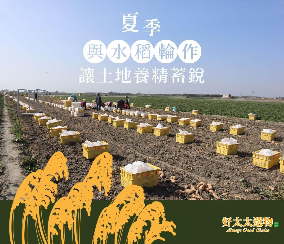 與水稻輪作,大大的減少病蟲害輪作可以改變病菌寄生主體,抑制病菌生長從而減輕危害。這就是我們的地瓜都不會「臭香」。