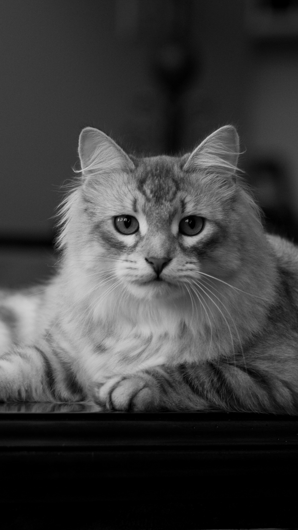 Htc M8 3d Wallpaper Siberian Cat Best Htc One Wallpapers Free And Easy To