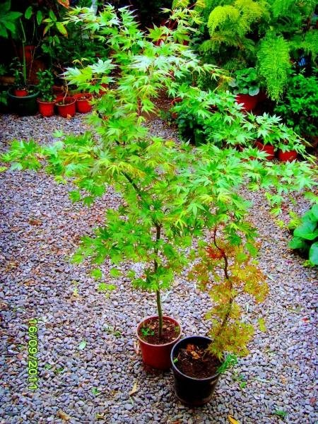 1 Arbol De Maple Japones Acer Palmatum   65000 en