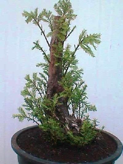 2 Arbolitos Ahuehuete Bonsai O Siembra Taxodium Huegelii