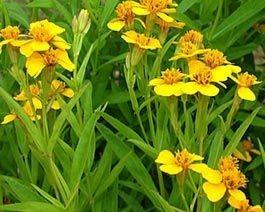 2 Plantas De Pericon Hierba Anis Tagetes Lucida Organico