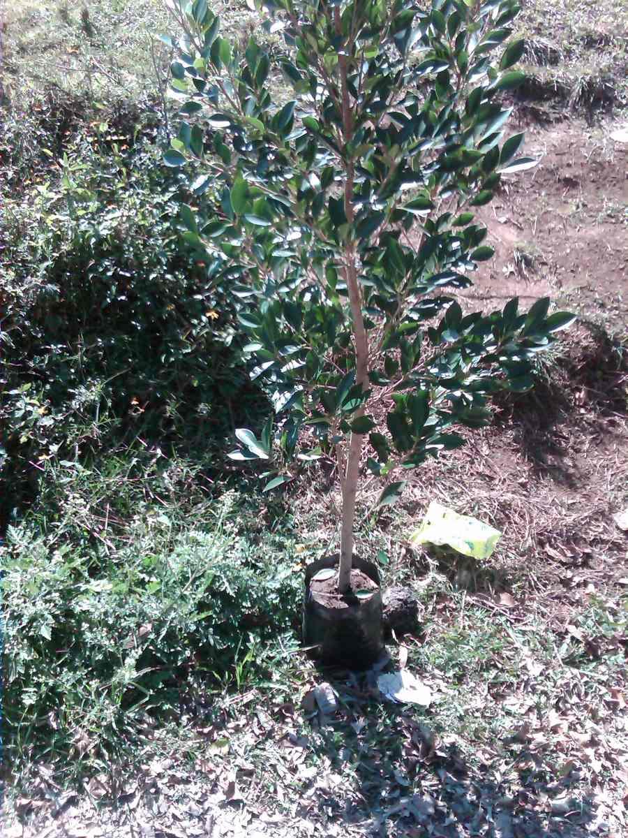 Arbol Laurel De La India ficus Microcarpa   5000 en