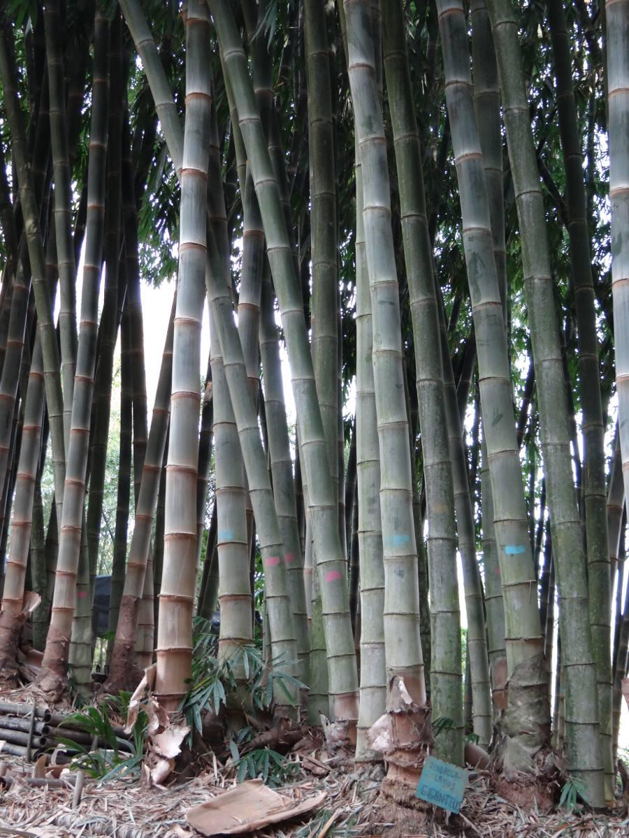Bambu Carrizo Guaduas Y Otate Plantas Para Siembra
