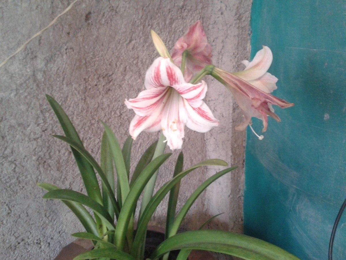 Bulbos De Azucenas amarilis Blancorojo Y Blanco Con