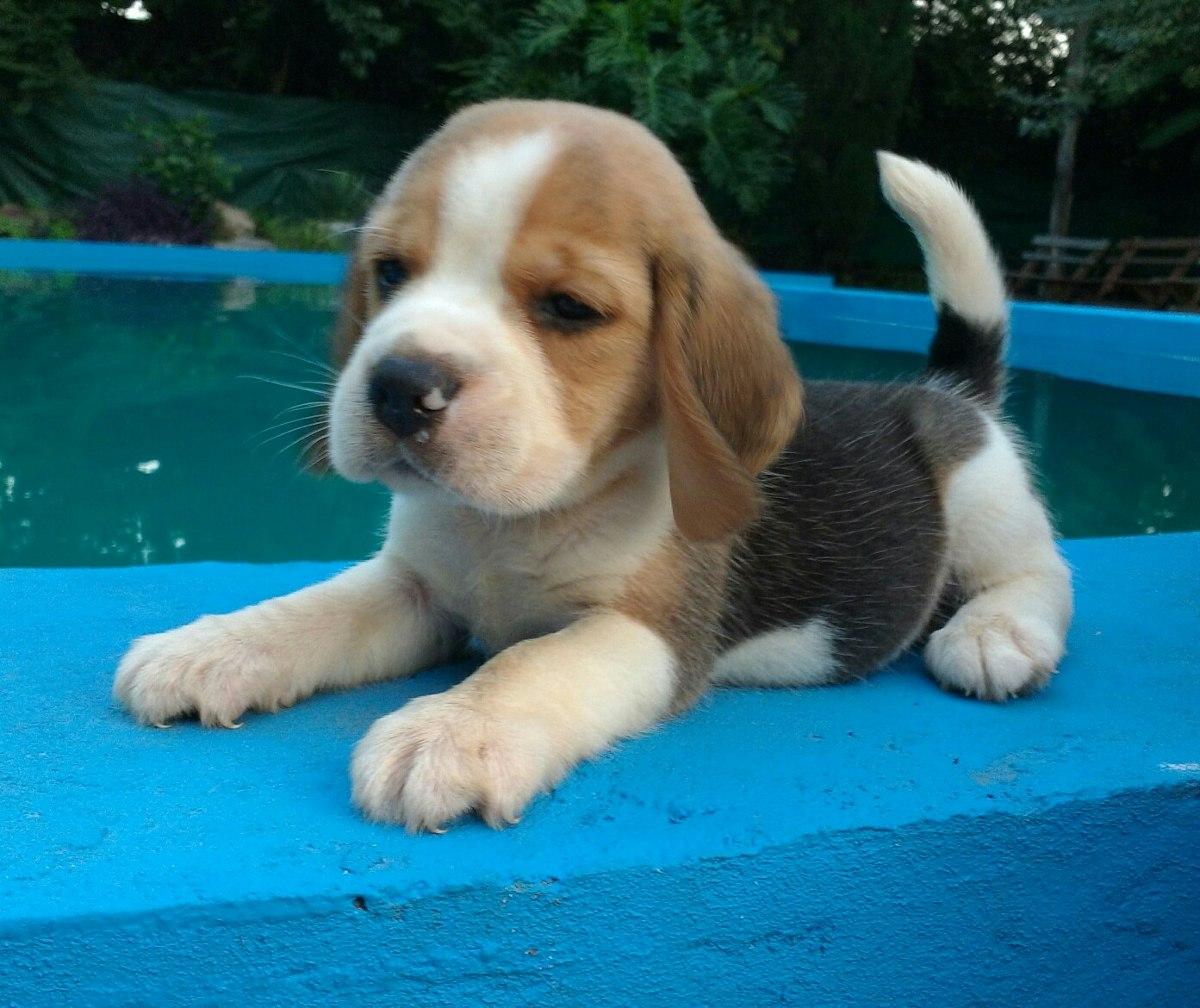 Cachorros De Beagle Pedigree Fca Nietos De Campeones