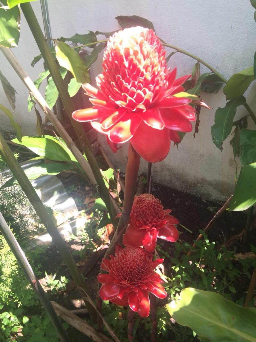 Flores Exticas Jengibre Bastn De Emperador   12000 en Mercado Libre
