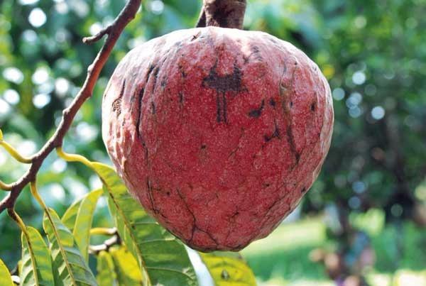 Frutales Anona Corazn De Buey Planta Pequea   19000