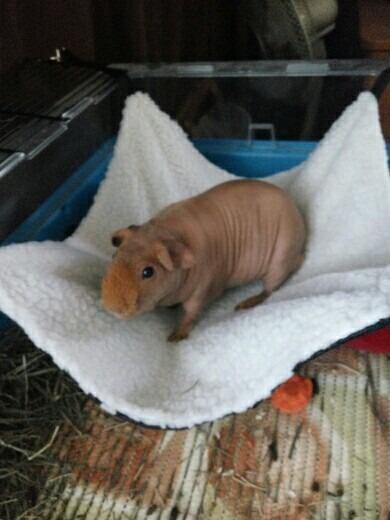 Hamaca Cama Cuyo Hamster Uron Chinchilla Cobayo Gato