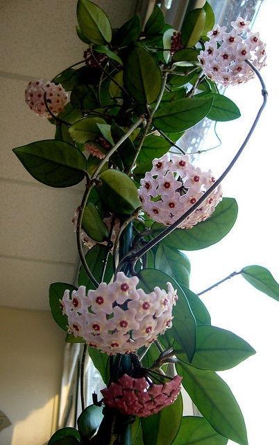 Hoya Carnosa Flor De Cera Planta Grande No Esqueje   350