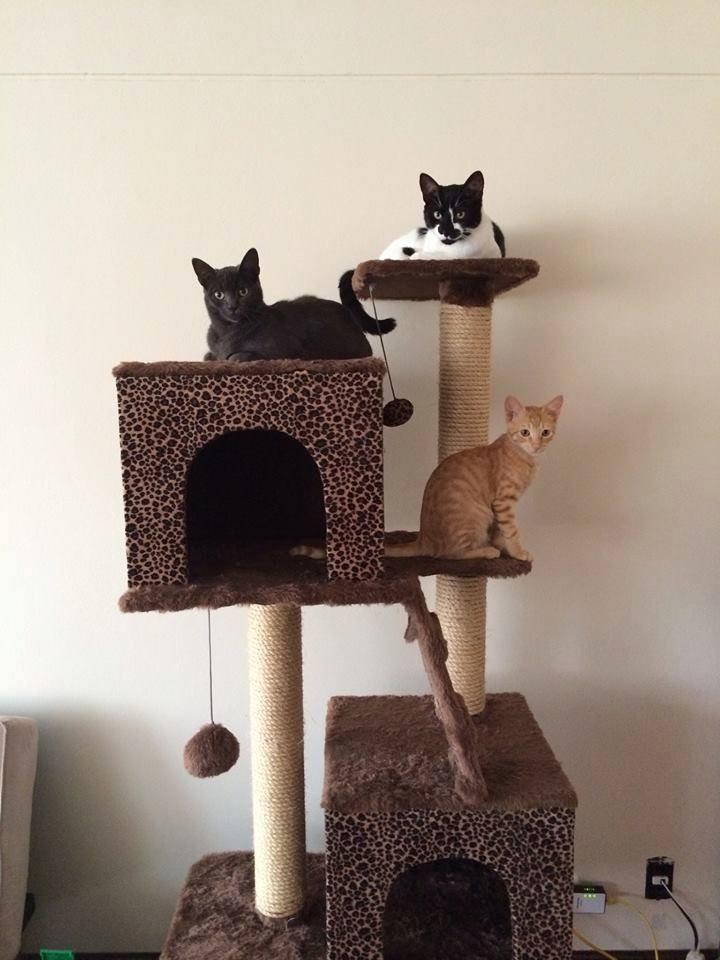 Mascotas Rascador Araador Para Gatos Modelo Dany  S