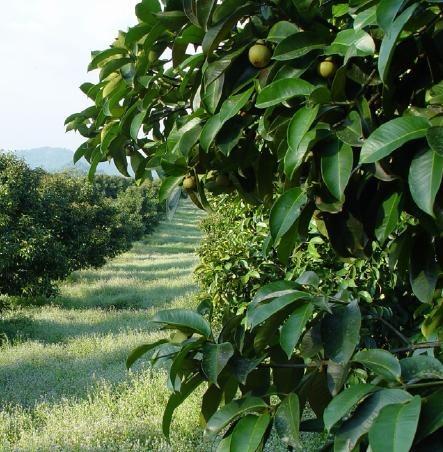 Mudas De Mangostin Mangosto Verdadeiro Por 3000  R 30