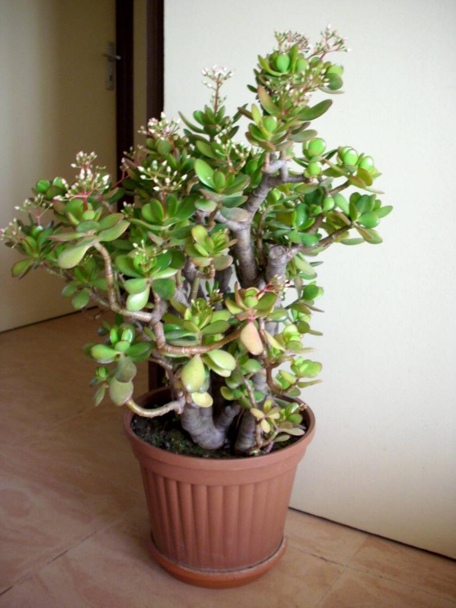 Mudas Planta Jade Arvore Da Fortuna  R 2700 em Mercado