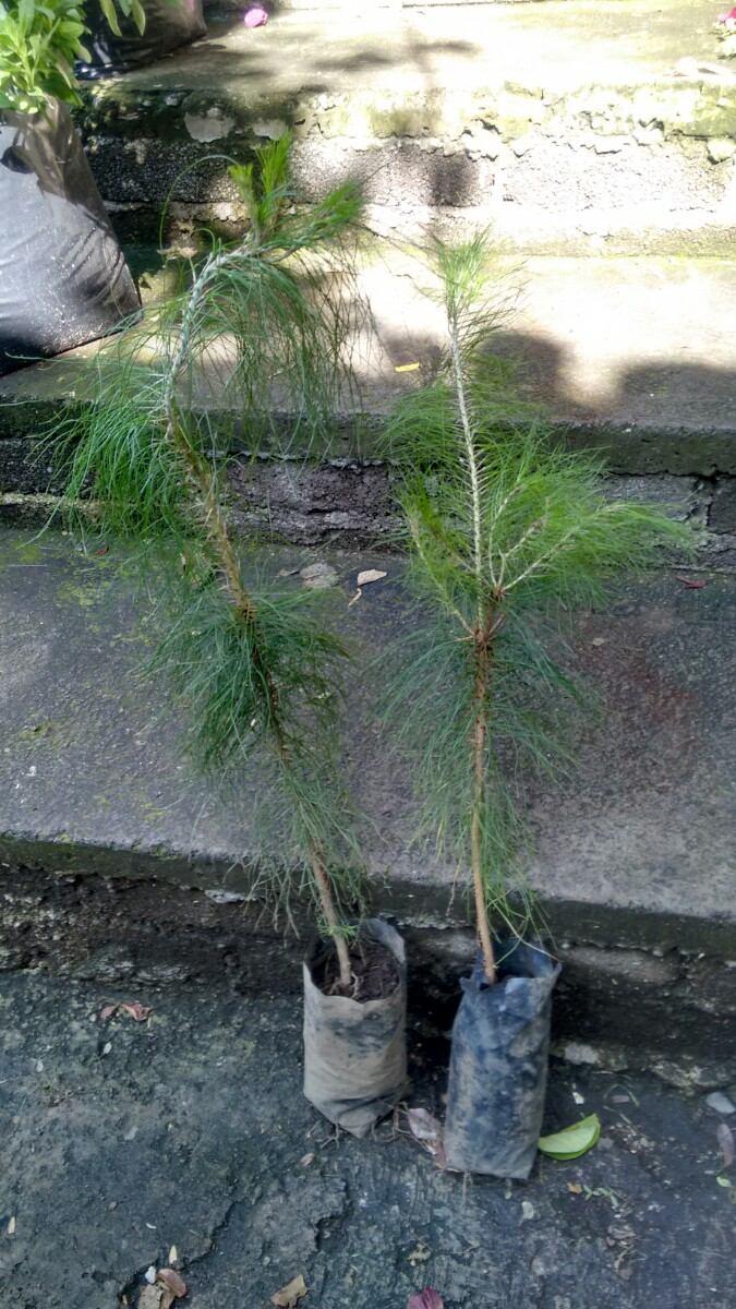 Ocote  Arbol   Pinus Patula  Pino Lloron  150 M