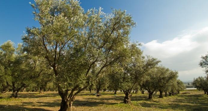 Olivo  rbol   Hoja Blanca  Aceituna Negra   35000