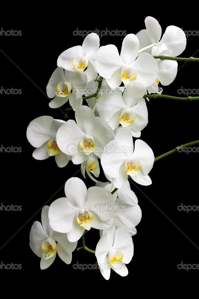 Orquidea Silicone Toque Real Flores Branca Baunilha Grande  R 7500 em Mercado Livre
