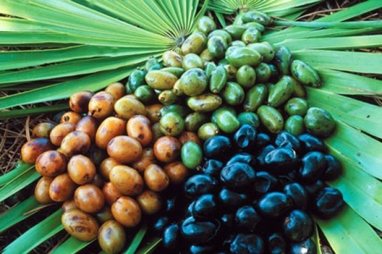 palma enana americana saw palmetto unidad a 520 D NQ NP 811626 MCO27283374928 052018 F