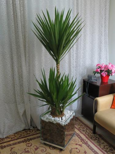 Palmeira Yucca Iucca Cachepot De Vidro 40x40x40cm natural