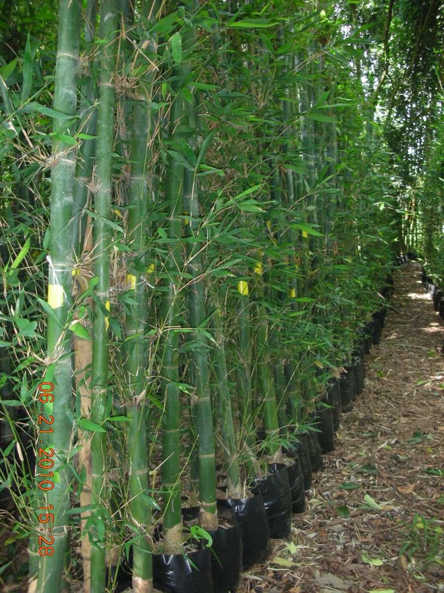 Planta Bambu Oldhamii   4000 en Mercado Libre