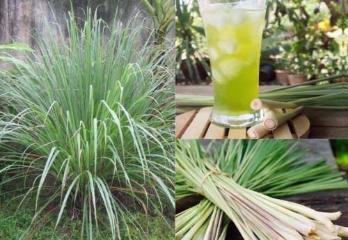 Planta Limoncillolemon Grasscitronela Tezacate Limn 65cm   11000 en Mercado Libre