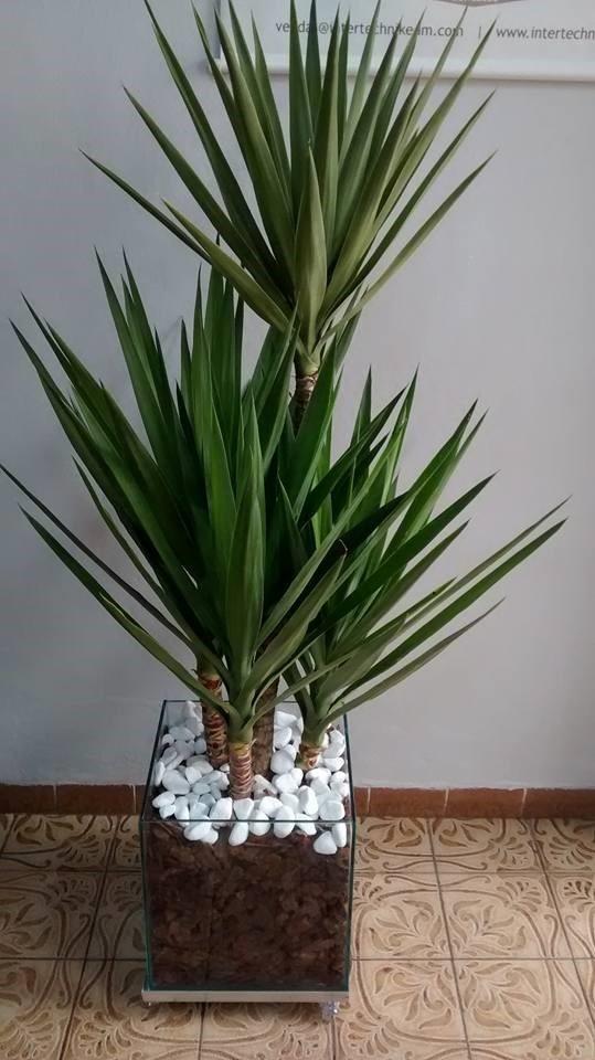 Planta Yucca Cachepot De Vidro 30x30x30 Cm  R 22985 em